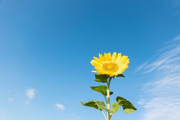 Paisagem de fazenda de girassóis com flores amarelas durante o dia