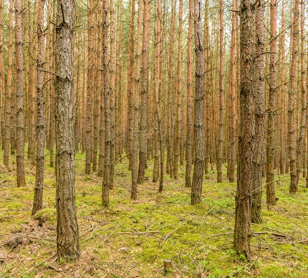 Paisagem de floresta com pequenos troncos de pinheiro