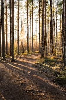 Paisagem de floresta de pinheiros ao pôr do sol com um caminho e raios de sol brilhando entre as árvores
