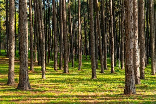 Paisagem de floresta de pinheiros na tailândia com grama verde no chão.