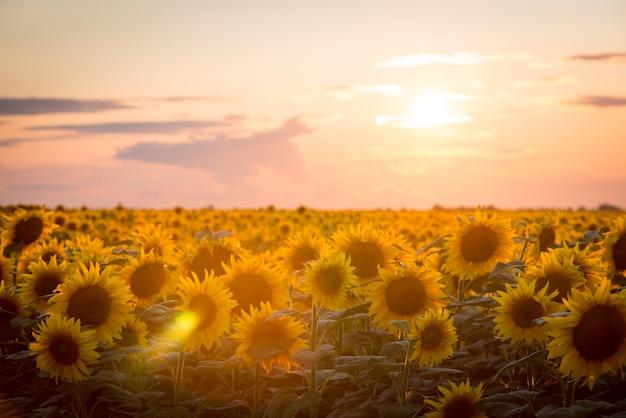 Paisagem de girassol. belos girassóis florescendo maduros contra o pôr do sol