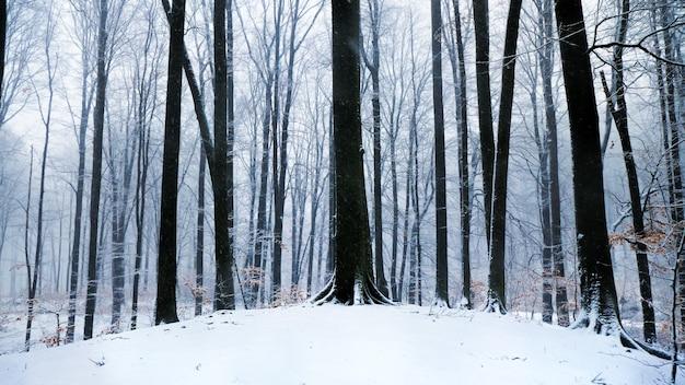 Paisagem de inverno com altos abetos e neve nas montanhas