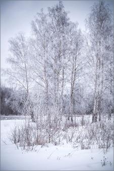 Paisagem de inverno com bosque de bétulas coberto de neve