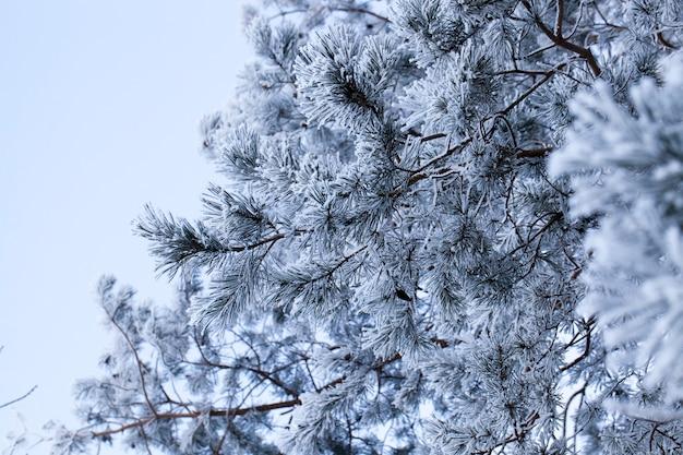 Paisagem de inverno com diferentes tipos de árvores cobertas de neve branca e geada no inverno, um dia gelado após uma nevasca