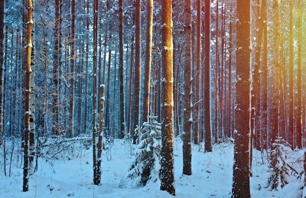 Paisagem de inverno com pinhal e pôr do sol