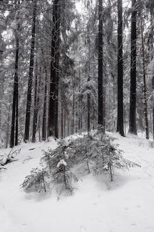 Paisagem de inverno em preto e branco com enormes coníferas