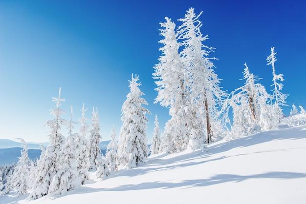 Paisagem de inverno fantástico. árvores de natal cobertas de neve nas montanhas alpinas