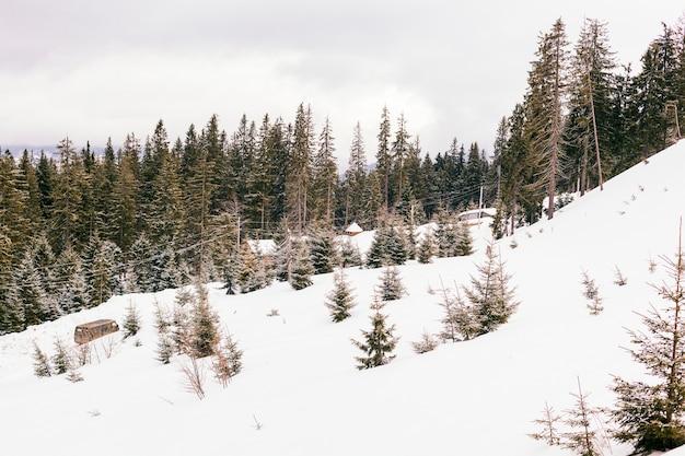 Paisagem de inverno linda com árvores coníferas