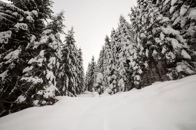 Paisagem de inverno linda. densa floresta montanhosa com altas árvores de abeto verde escuro cobertas de neve limpa e profunda.
