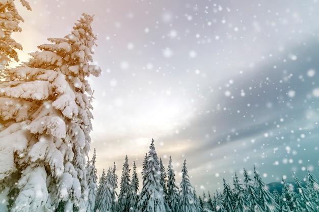 Paisagem de inverno linda montanha. árvores spruce altas cobertas de neve na floresta de inverno e céu nublado.