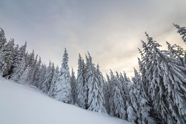 Paisagem de inverno linda montanha. árvores spruce altas cobertas de neve na floresta de inverno e fundo de céu nublado.
