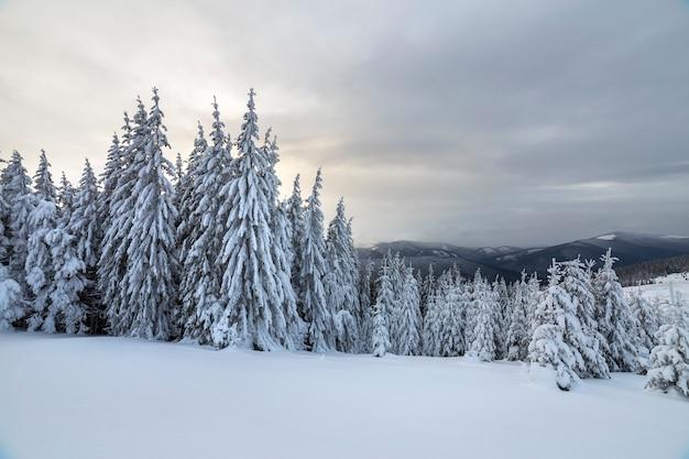 Paisagem de inverno linda montanha. obscuridade alta - árvores spruce verdes cobertas de neve em picos de montanha e céu nublado.