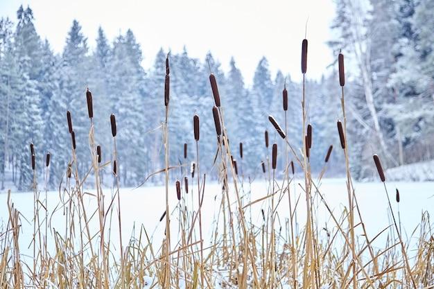 Paisagem de inverno. reed em lago congelado em floresta de neve