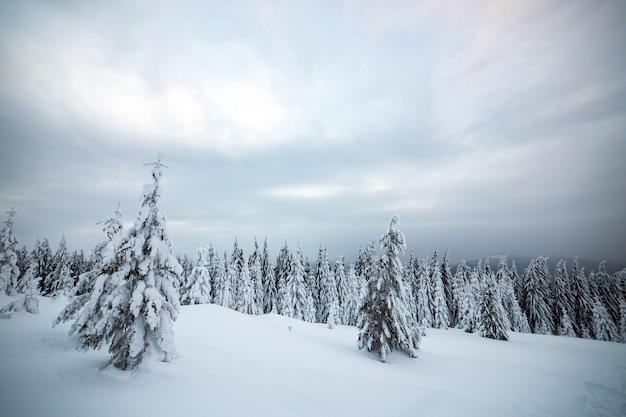 Paisagem de inverno temperamental de bosques de abetos encolhidos com neve branca profunda em terras altas congeladas frias.