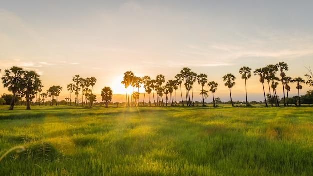 Paisagem, de, jasmine, arroz, verde, campo, com, toddy, palma, árvore, em, pôr do sol, tempo, fundo