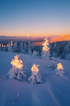 Paisagem de natal. amanhecer nas montanhas. abetos na neve. cárpatos, ucrânia, europa
