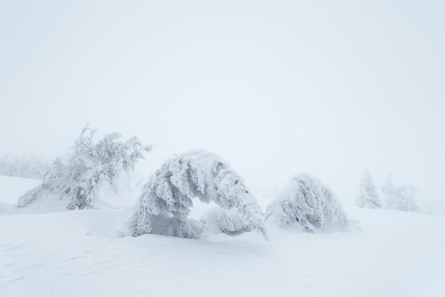 Paisagem de natal. árvores cobertas de neve nas colinas de montanha. dia nublado. cárpatos, ucrânia, europa