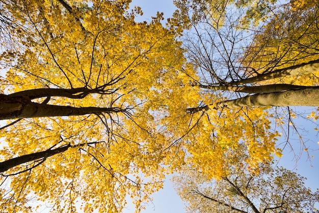 Paisagem de outono com árvores altas, folhagem amarela, luz solar ilumina o parque, outono muda na natureza