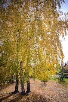 Paisagem de outono com bétulas