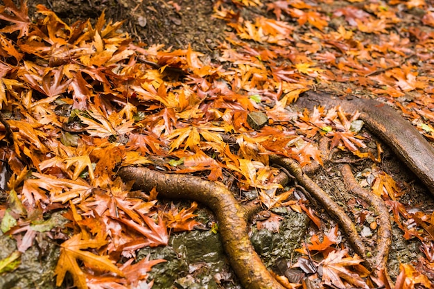 Paisagem de outono com folhas caídas e raízes de árvores