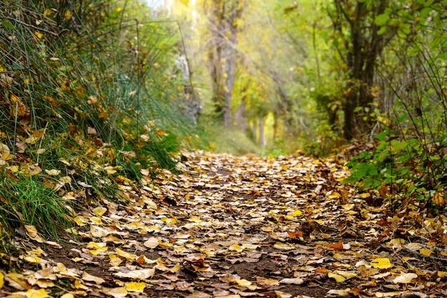 Paisagem de outono na floresta com árvores douradas, amarelas e verdes e folhas caídas no chão. segóvia, espanha.