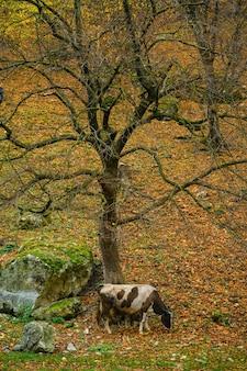 Paisagem de outono vaca pastando na floresta
