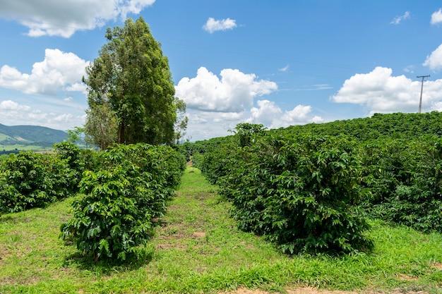 Paisagem de plantação de café com agricultura de céu azul