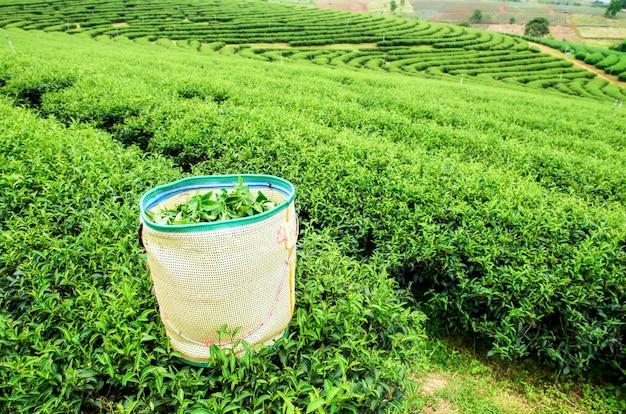 Paisagem de plantação de chá verde na tailândia