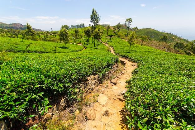 Paisagem de plantação de chá verde no sri lanka