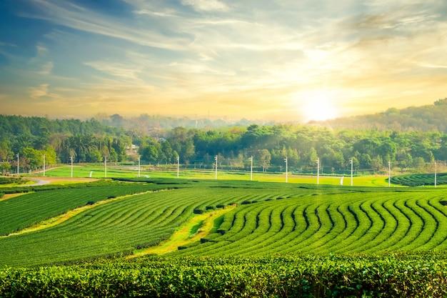 Paisagem de plantação de chá verde