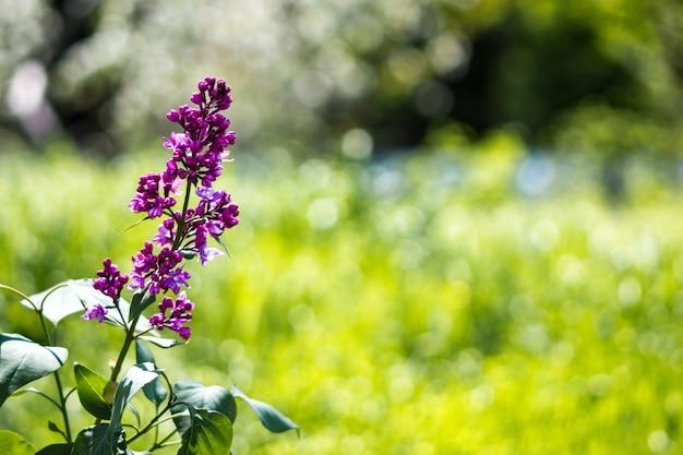 Paisagem de primavera. ramo solitário de floração lilás close-up.