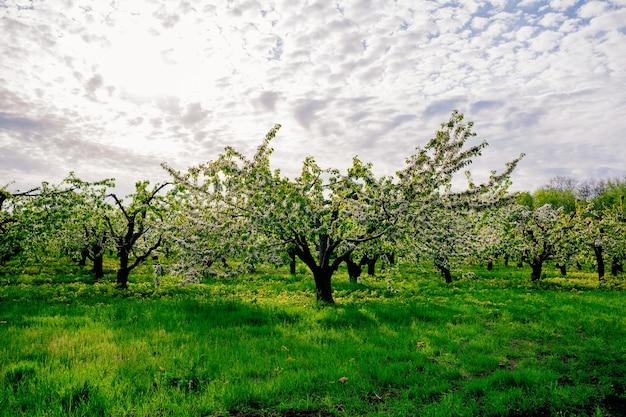 Paisagem de um pomar de cerejeiras na primavera, caminhada entre as árvores floridas