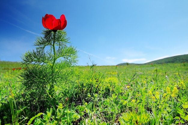 Paisagem de verão, colinas e prados com grama verde repleta de flores vermelhas de papoula e dentes-de-leão