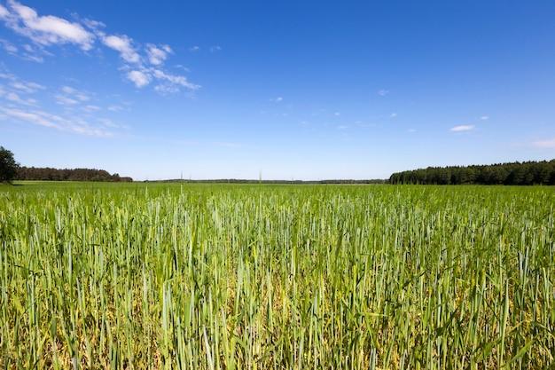 Paisagem de verão com cereais verdes, céu azul, nuvens e árvores na linha do horizonte