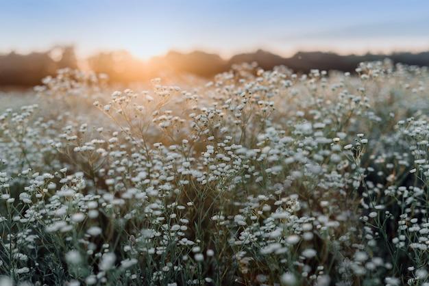 Paisagem de verão com flores silvestres florescendo no prado, flor de camomila branca no campo, vista do verão com flores silvestres florescendo no prado