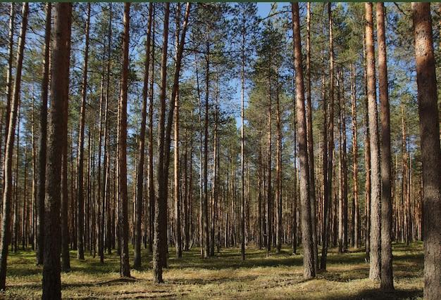 Paisagem de verão com pinheiros altos e retos na floresta