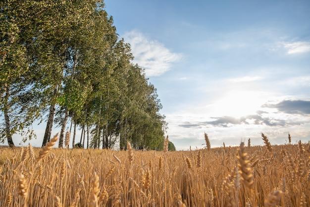 Paisagem de verão com uma fileira de bétulas e um campo de plantio de grãos