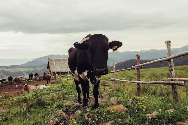 Paisagem de verão nas montanhas com uma vaca