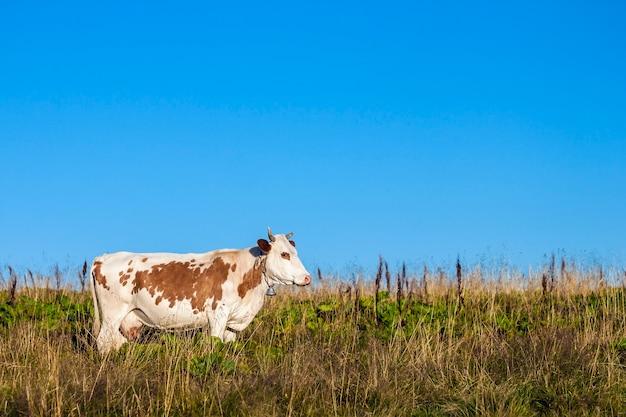 Paisagem de verão nos cárpatos com vaca pastando em pastos de montanha verde fresca