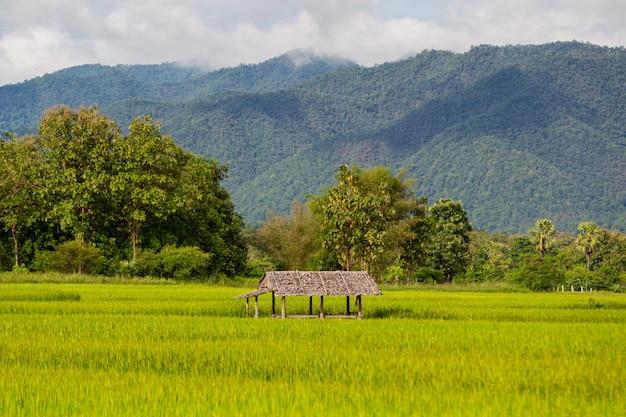 Paisagem do campo de arroz dourado bonito na ásia.