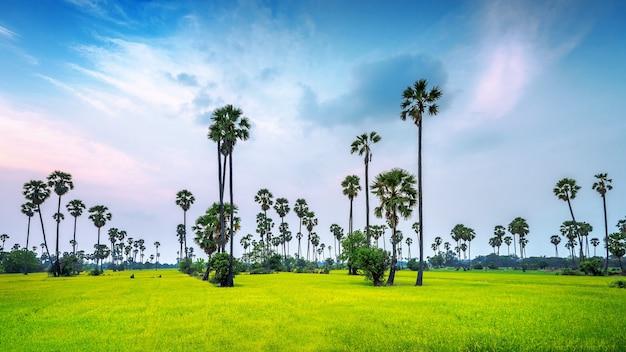 Paisagem do campo de palmeira de açúcar e arroz.