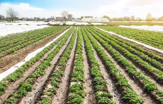 Paisagem do campo de plantação de arbustos de batata jovem após molhar. verduras frescas