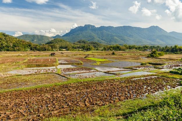Paisagem do campo do arroz em 3sudeste asiático após a estação da colheita.
