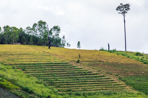 Paisagem do campo do arroz no campo de tailândia.