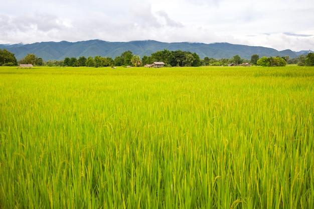 Paisagem do campo do arroz no lado do país no norte da tailândia.