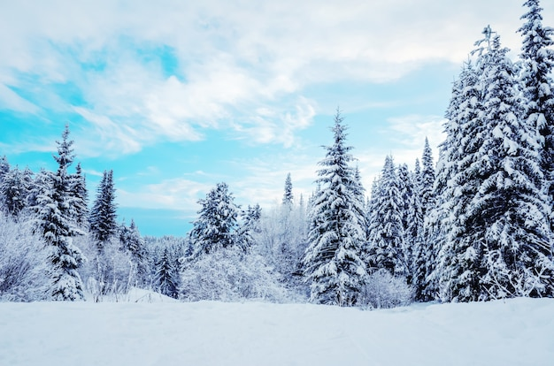 Paisagem do inverno: árvores coníferas cobertos de neve em um fundo de céu azul.