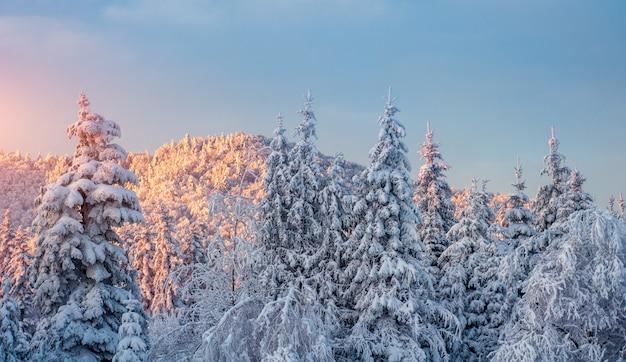 Paisagem do inverno brilhando pela luz solar. cárpatos, ucrânia, europa.