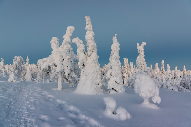 Paisagem do inverno com as árvores cobertos de neve tykky na floresta do inverno.