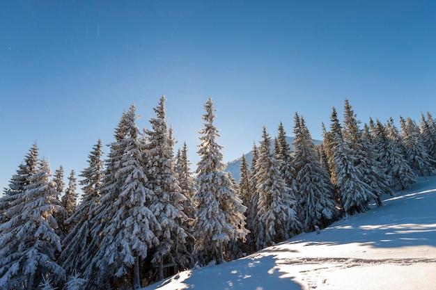 Paisagem do inverno de natal. belos pinheiros altos cobertos de neve e geada na encosta da montanha iluminada por raios de sol brilhante no fundo do espaço da cópia do céu azul. cartão de feliz ano novo e feliz natal.