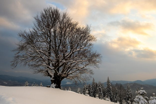 Paisagem do inverno temperamental com árvore nua escura coberta com campo de neve fresca caída nas montanhas de inverno na manhã fria e sombria.